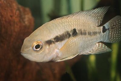Cichlasoma bimaculatum Cichlidae