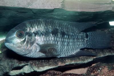 Cichlasoma portalegrense Cichlidae
