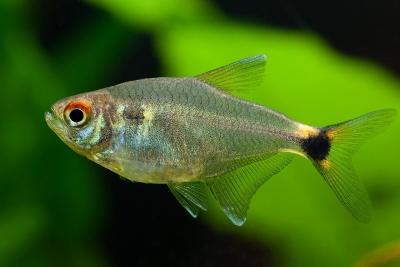 feu-de-position Characidae