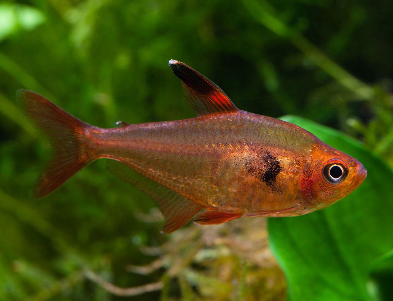 Fant me rouge hyphessobrycon sweglesi t tra fiche for Elevage poisson rouge