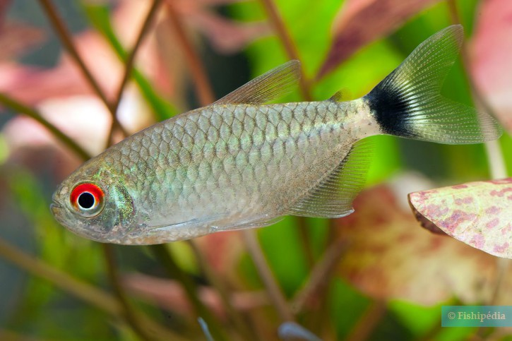 T tra yeux rouges moenkhausia sanctaefilomenae fiche for Poisson rouge gros yeux