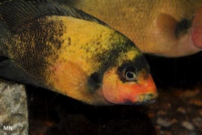 Paretroplus damii Cichlidae