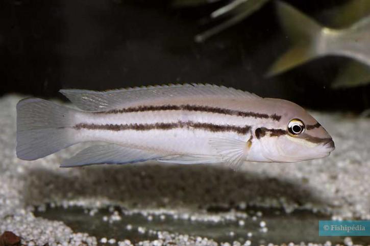 Chalinochromis sp. bifrenatus