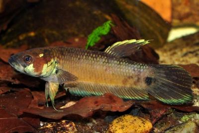 Betta unimaculata Osphronemidae