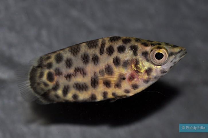 Ctenopoma acutirostre - Ctenopoma léopard