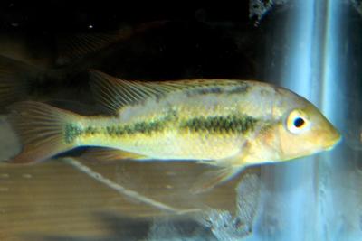 Geophagus pellegrini Cichlidae