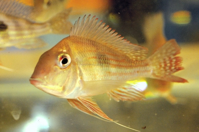 Géo altifrons Cichlidae