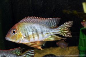 Geophagus sp Tapajos Orange Head