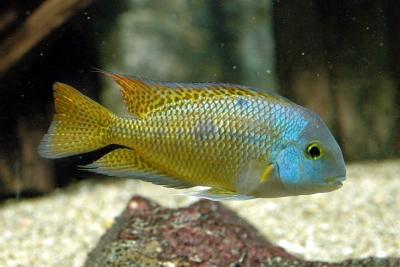 nicaraguense Cichlidae