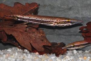 Luciocephalus pulcher
