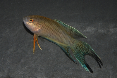 Macropodus spechti Osphronemidae