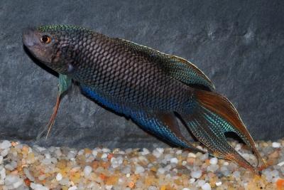 Macropodus erythropterus Osphronemidae