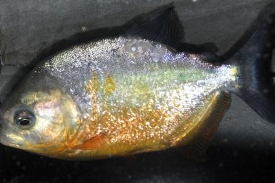piranha à queue noire Serrasalmidae