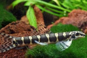 Serpenticobitis octozona