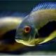 picture of Uaru amphiacanthoides