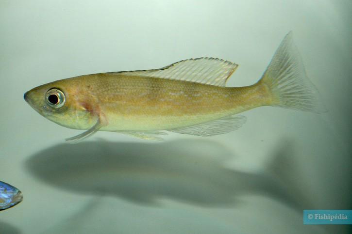 Cyprichromis microlepidotus