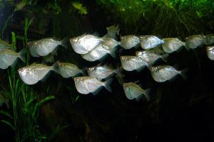 Gasteropelecus maculatus