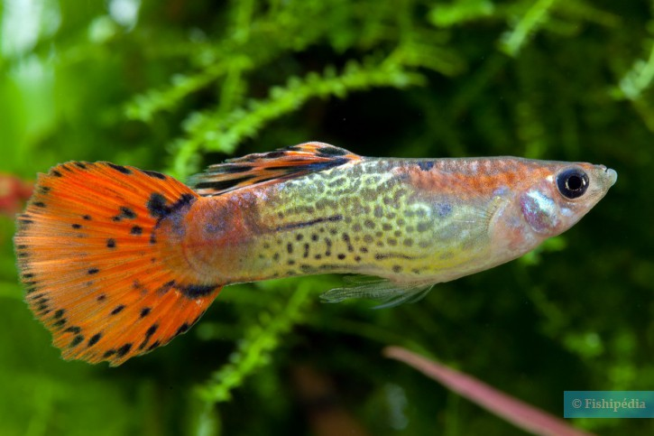 Guppy poecilia reticulata fiche poisson for Alimentation guppy poisson rouge