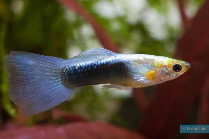 Poecilia reticulata - guppy