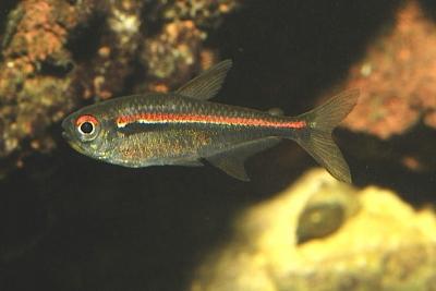 Hyphessobrycon amapaensis Characidae