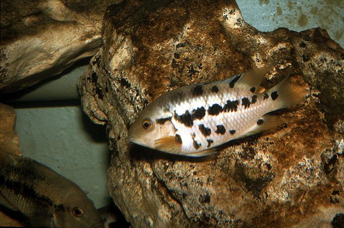 Mesoheros atromaculatus