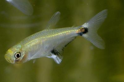 Aphyocharax nattereri Characidae