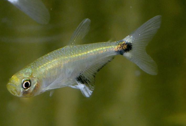 Aphyocharax nattereri