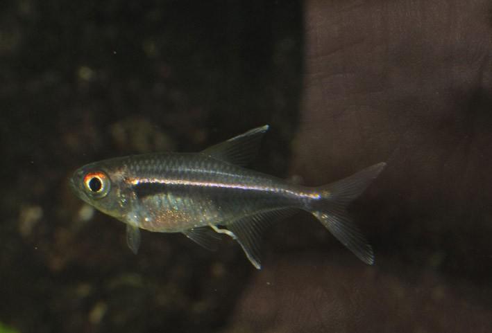 Hyphessobrycon eschwartzae