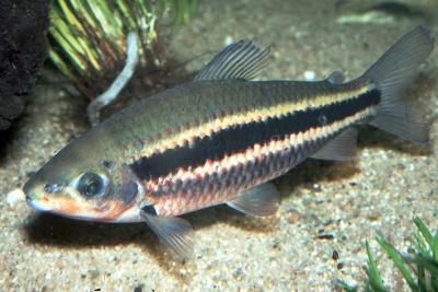 Leporinus arcus Anostomidae