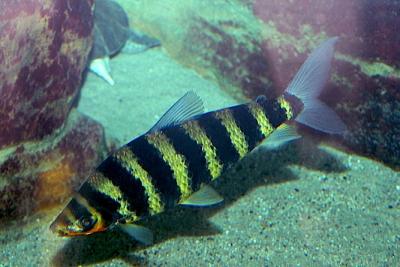 Léporinus à bandes Anostomidae