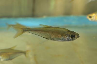Lonchogenys ilisha Acestrorhynchidae
