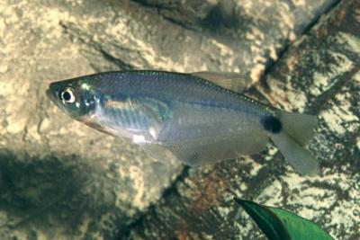 tétra de verre bleu Characidae