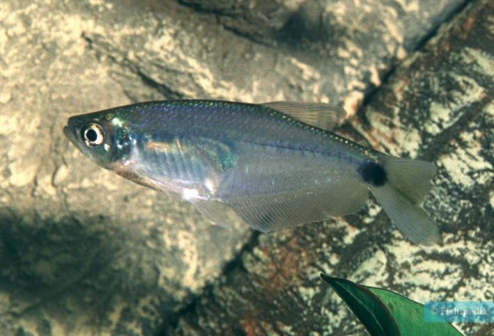 Paragoniates alburnus