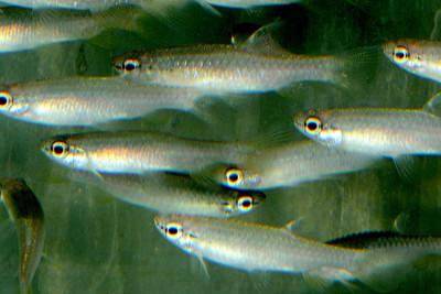 Pyrrhulina lugubris Lebiasinidae
