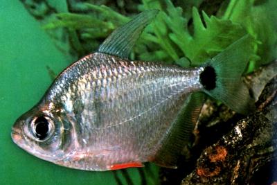 Tetragonopterus argenteus Characidae