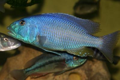 Aristochromis christyi Cichlidae