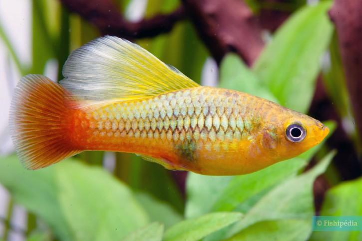 Xiphophorus variatus - platy variatus