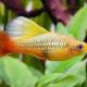 picture of Xiphophorus variatus