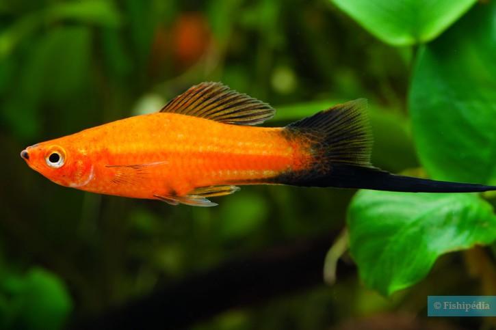 Xiphophorus hellerii - xipho