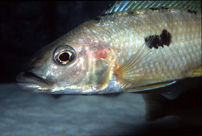 Exochochromis anagenys - Anagenys