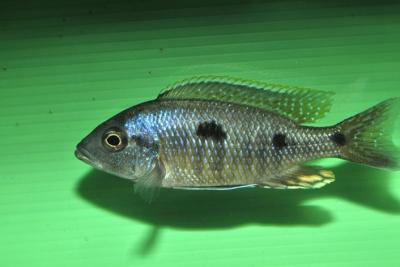 Utaka bleu Cichlidae