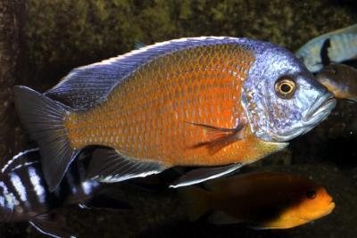 Katango Cichlidae