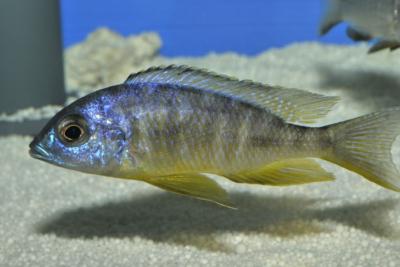 Aulonocara brevinidus Cichlidae