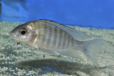 Aulonocara sp. Chitende Nkatabay Cichlidae