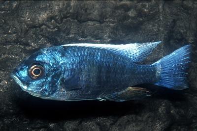 Utaka Cichlidae