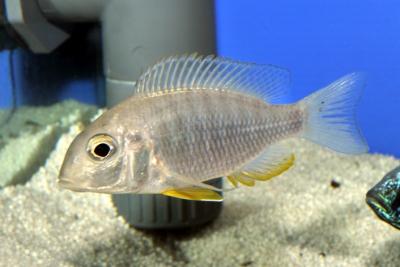 Aulonocara gertrudae Cichlidae