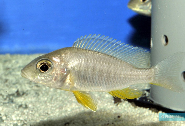 Aulonocara gertrudae
