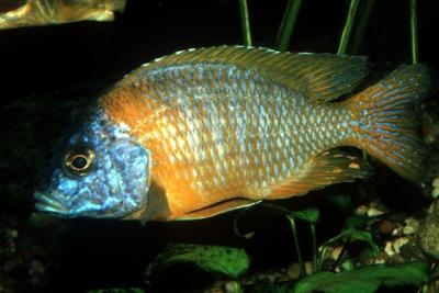 Aulonocara korneliae Cichlidae