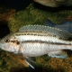 picture of Melanochromis lepidiadaptes