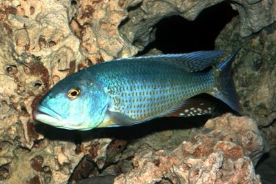 Lepturus Cichlidae
